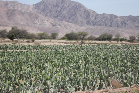 Po drodze do Nazca mijaliśmy uprawy... kaktusów.